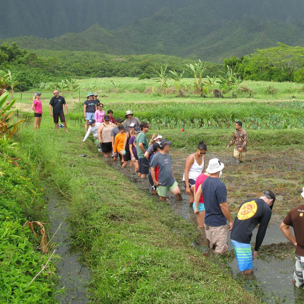 As part of UH Sea Grant's interdisciplinary Coastal Sustainability Initiative, we dove into watershed restoration at loʻi kalo (taro patches) Heʻeia ahupuaʻa. Photo: Bruce Hamakawa